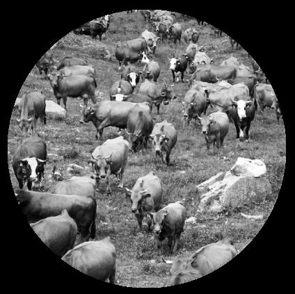 Pâturage de vaches tarines pour le Beaufort